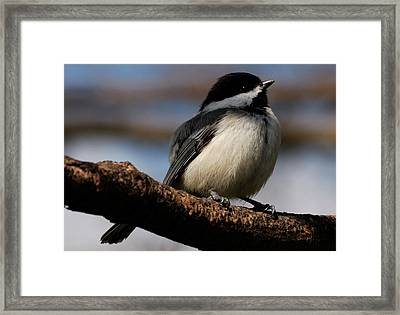 Black-capped Chickadee Framed Print by Randy Bodkins