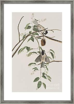 Black Capped Titmouse Framed Print