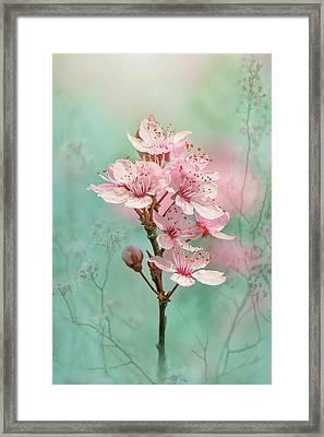 Black Cherry Plum Blossom Framed Print by Jacky Parker