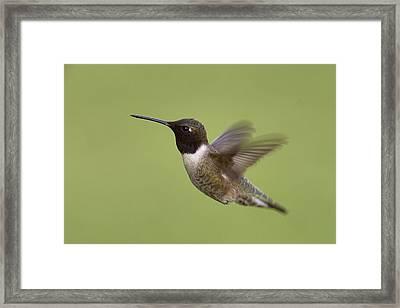 Black-chinned Hummingbird Framed Print by Doug Herr