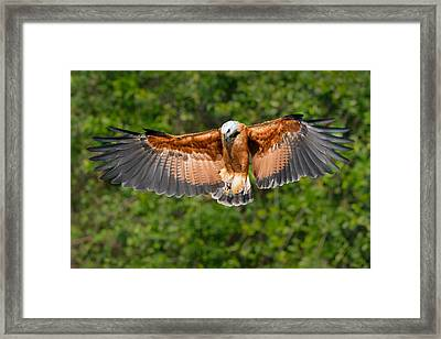 Black-collared Hawk Busarellus Framed Print