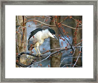 Black-crowned Night Heron Framed Print by Neil Doren