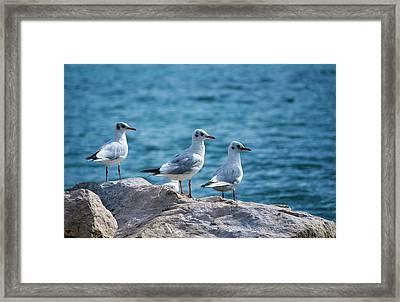 Black-headed Gulls, Chroicocephalus Ridibundus Framed Print by Elenarts - Elena Duvernay photo