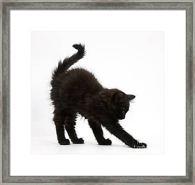 Black Kitten Stretching Framed Print by Mark Taylor