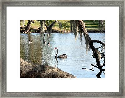 Framed Print featuring the photograph Black Swan by Elizabeth Fontaine-Barr