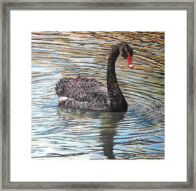 Black Swan On Water Framed Print by Leonie Bell