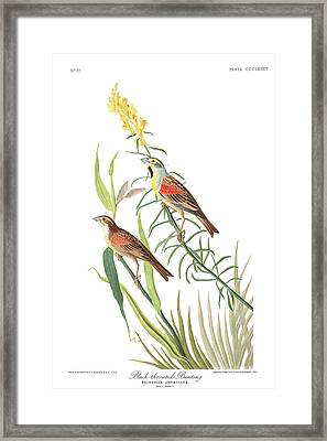 Black-throated Bunting Framed Print