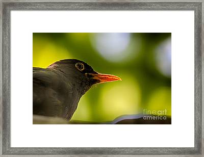 Blackbird Framed Print by Jivko Nakev
