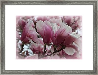 Blooming Pink Magnolias Framed Print