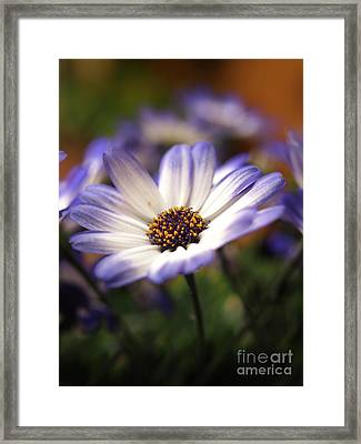 Blue Bi-color Pericallis Senetti  Framed Print by Dorothy Lee