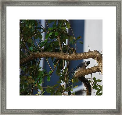 Framed Print featuring the photograph Blue Bird by Rob Hans