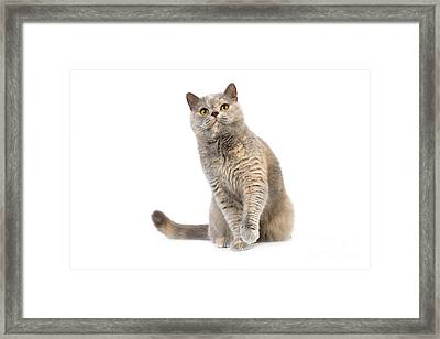 Blue Cream British Shorthair Cat Framed Print