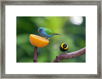 Blue-faced Parrotfinch Framed Print