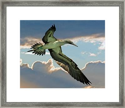 Blue-footed Booby Framed Print by Larry Linton