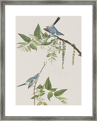 Blue Grey Flycatcher Framed Print by John James Audubon