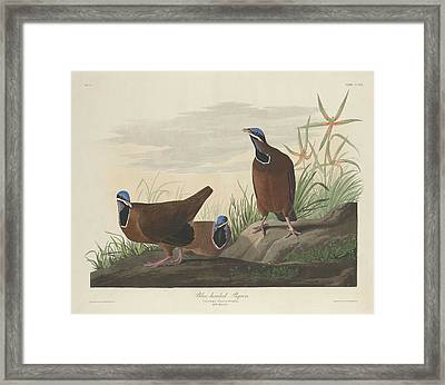 Blue-headed Pigeon Framed Print by Anton Oreshkin