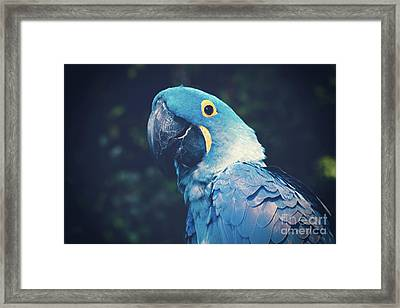 Blue Hyacinth Macaw Framed Print by Sharon Mau