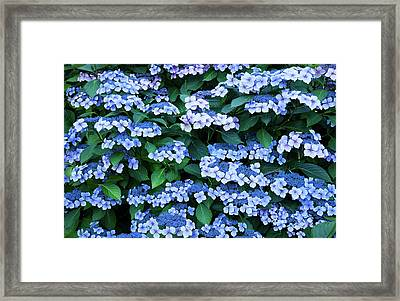 Miksang 12 Blue Hydrangea Framed Print by Theresa Tahara