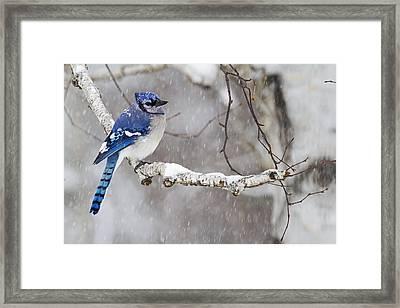 Blue Jay  Cyanocitta Cristata Perched Framed Print