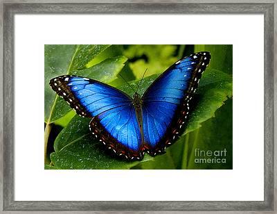 Blue Morpho Framed Print