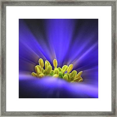 blue Shades - An Anemone Blanda Framed Print by John Edwards