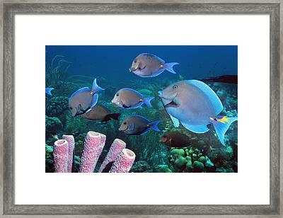 Blue Tang Shoal Framed Print by Georgette Douwma