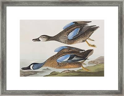 Blue Winged Teal Framed Print by John James Audubon