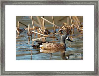 Blue Winged Teal Framed Print by Natural Focal Point Photography