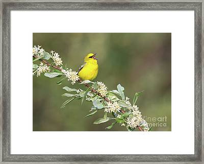 Blue-winged Warbler Framed Print by Joshua Clark