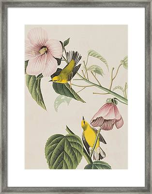 Blue-winged Yellow Warbler  Framed Print