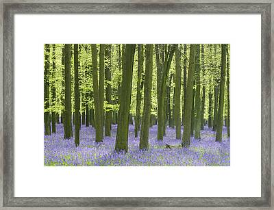 Bluebell Wood Framed Print by Liz Pinchen
