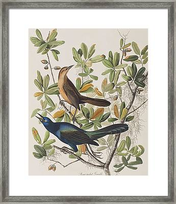 Boat-tailed Grackle Framed Print