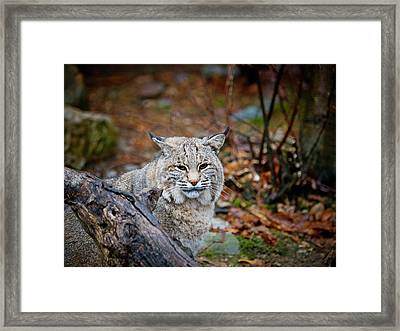 Bobcat Framed Print by Jim DeLillo