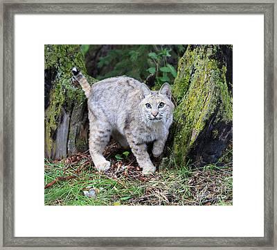 Bobcat Framed Print by Louise Heusinkveld
