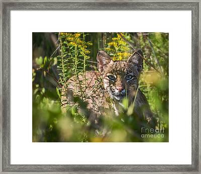 Bobcat Lynx In Hiding  Framed Print by Anne Kitzman