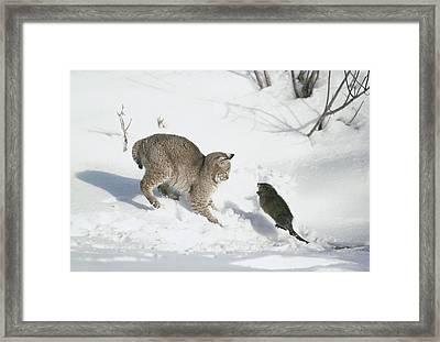 Bobcat Lynx Rufus Hunting Muskrat Framed Print by Michael Quinton