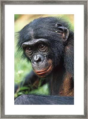 Bonobo Pan Paniscus Portrait Framed Print by Cyril Ruoso
