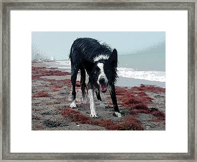 Border Collie Framed Print by Charles Shoup