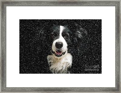 Border Collie Framed Print by Nichola Denny