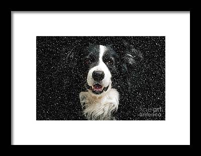 Dogs In Snow Framed Prints
