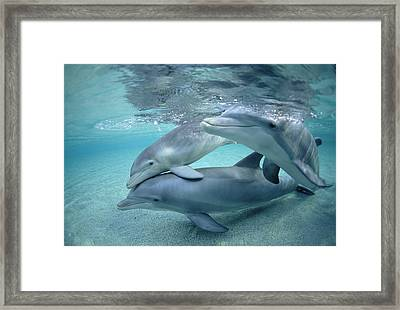 Bottlenose Dolphin Underwater Trio Framed Print by Flip Nicklin