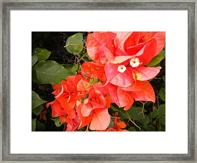 Bouganvilla 1 Framed Print