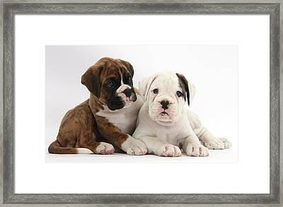 Boxer Puppies Framed Print