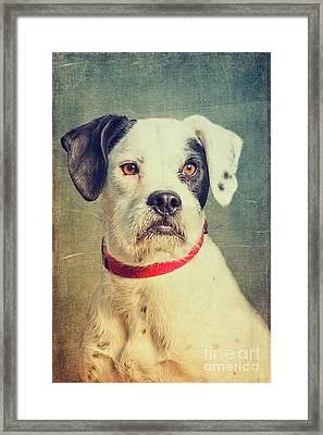 Boxer-schnautzer-mix Framed Print by Angela Doelling AD DESIGN Photo and PhotoArt