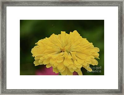 Bright Yellow Zinnia Framed Print by Ruth Housley