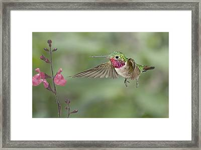 Broadtail Hummingbird And Salvia Framed Print