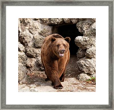 Brown Bear Framed Print by Boyan Dimitrov