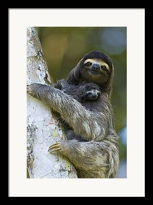 Brown Throated Sloth Framed Prints