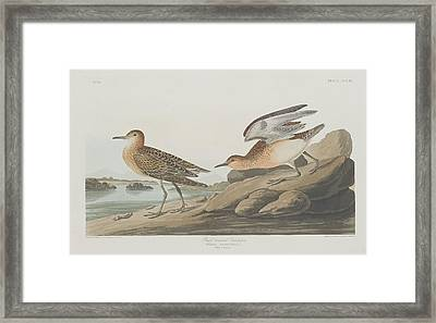 Buff-breasted Sandpiper Framed Print
