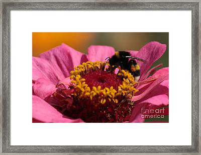 Buff-tailed Bumblebee On Zinnia Elegans Framed Print